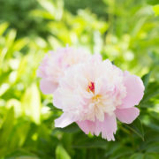 Peony in Chinese Poetry